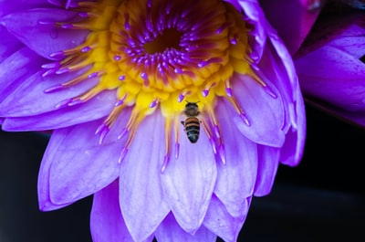 bee and purple-petaled flowers vanuatu zoom background