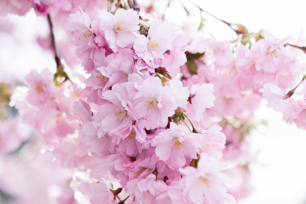 shallow focus photo of cherry blossom