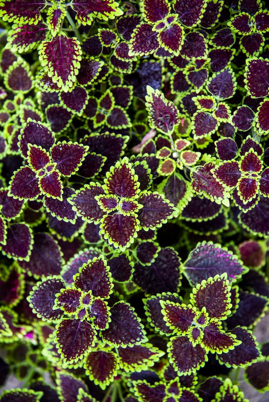 purple leaf plant