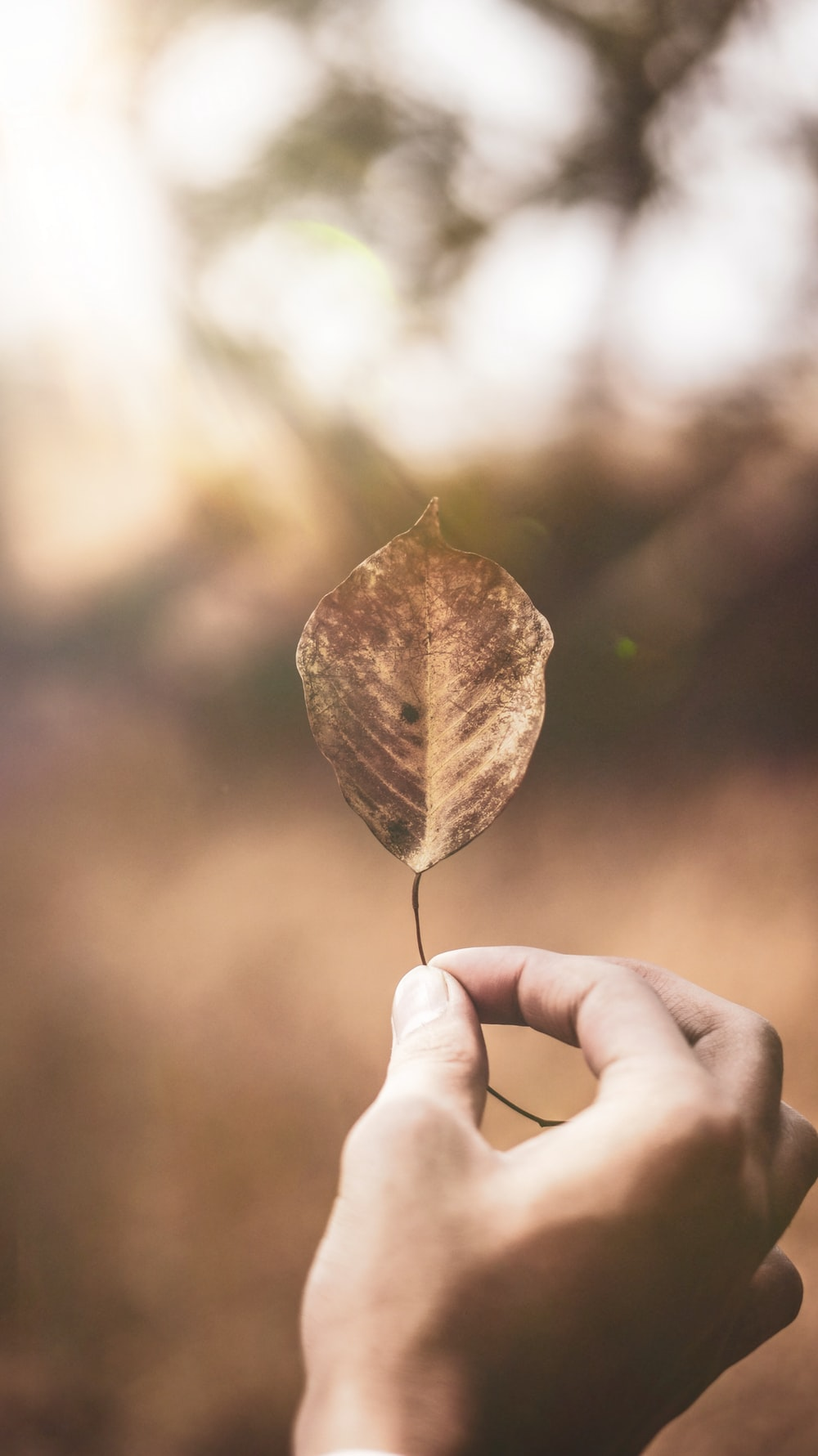 person holding dried leaf