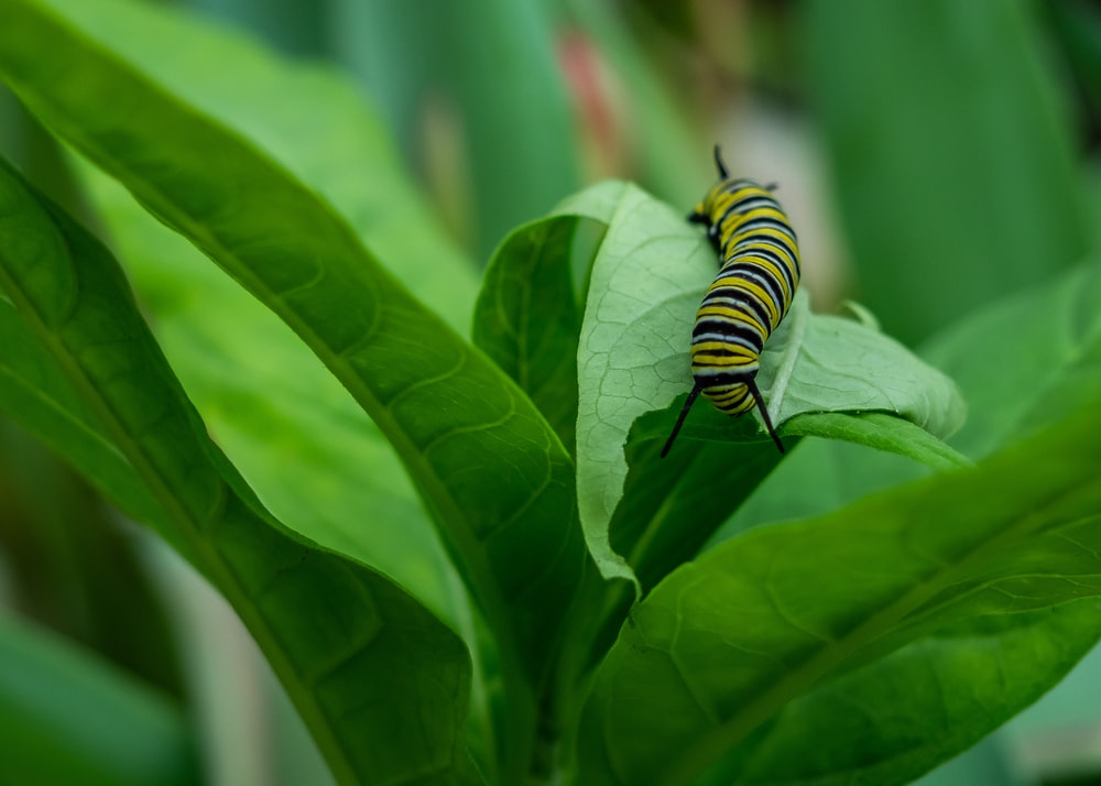 monarch caterpillar on green plant