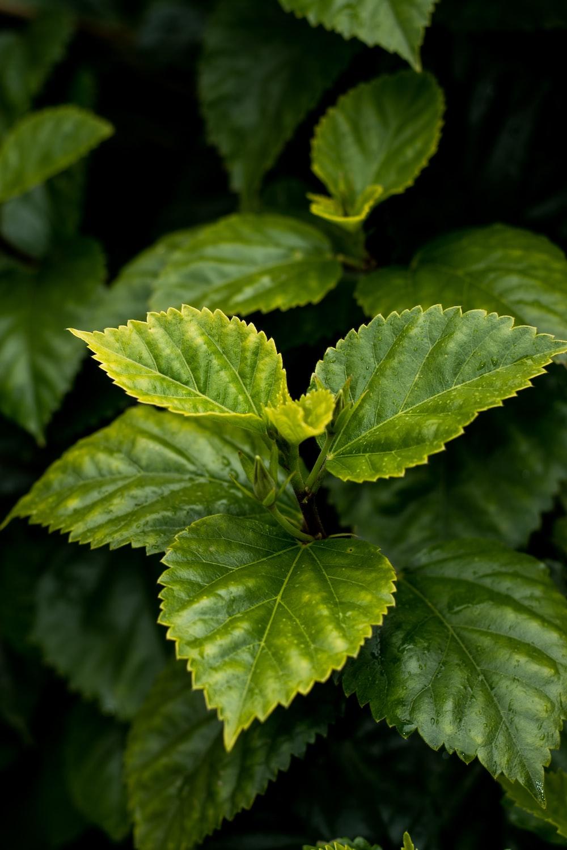 ovate leafed plant