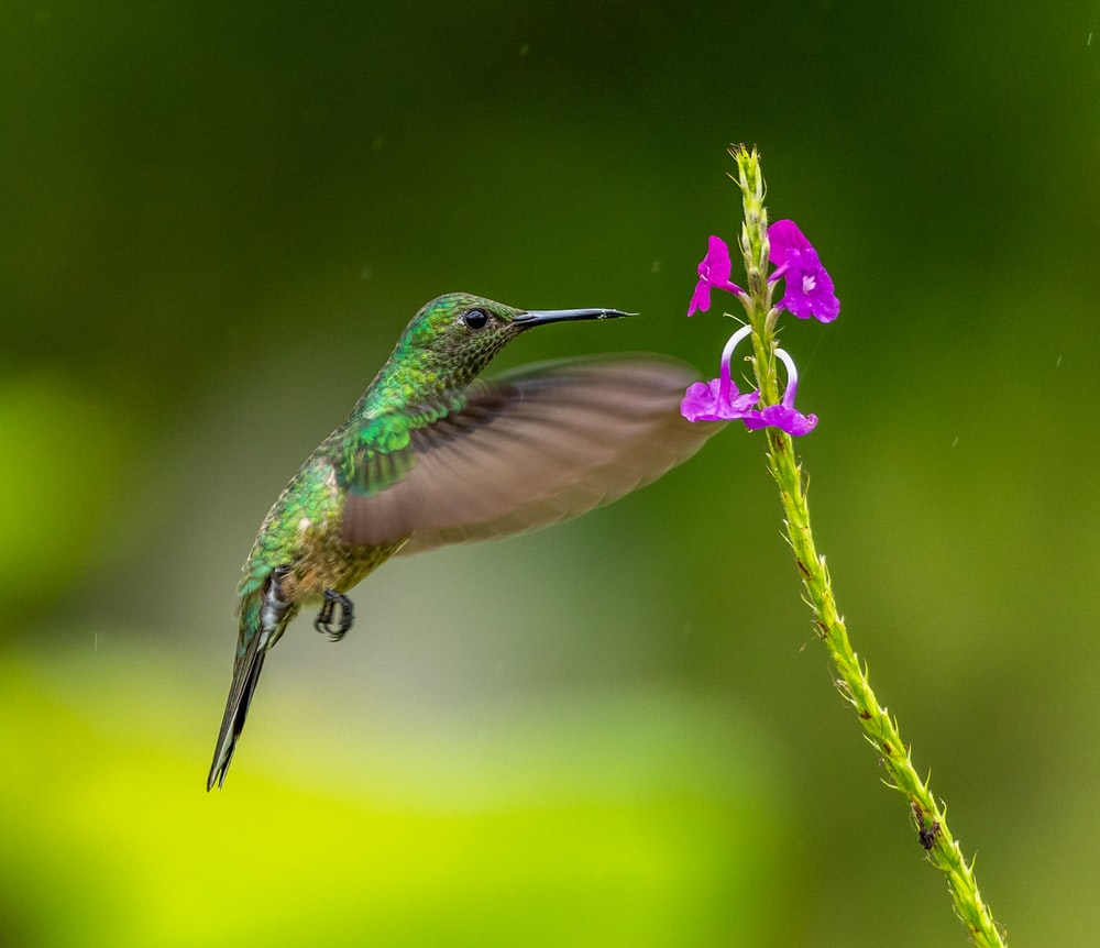 green and brown humming bird on purple petaled flower