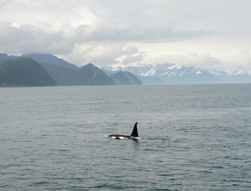 black shark on the ocean photography