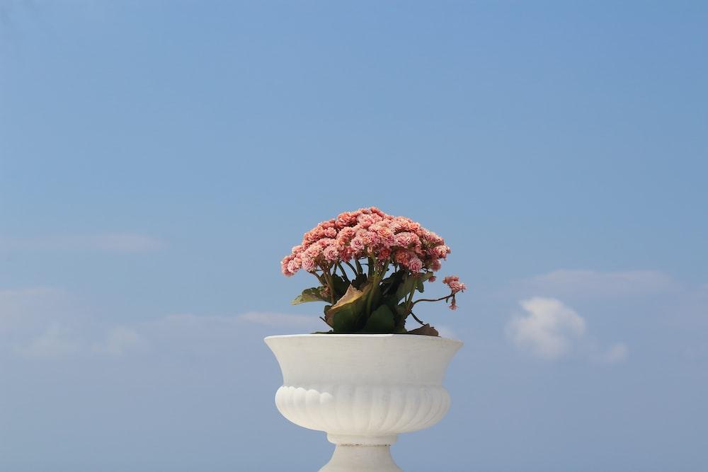 pink-petaled flower on white pot