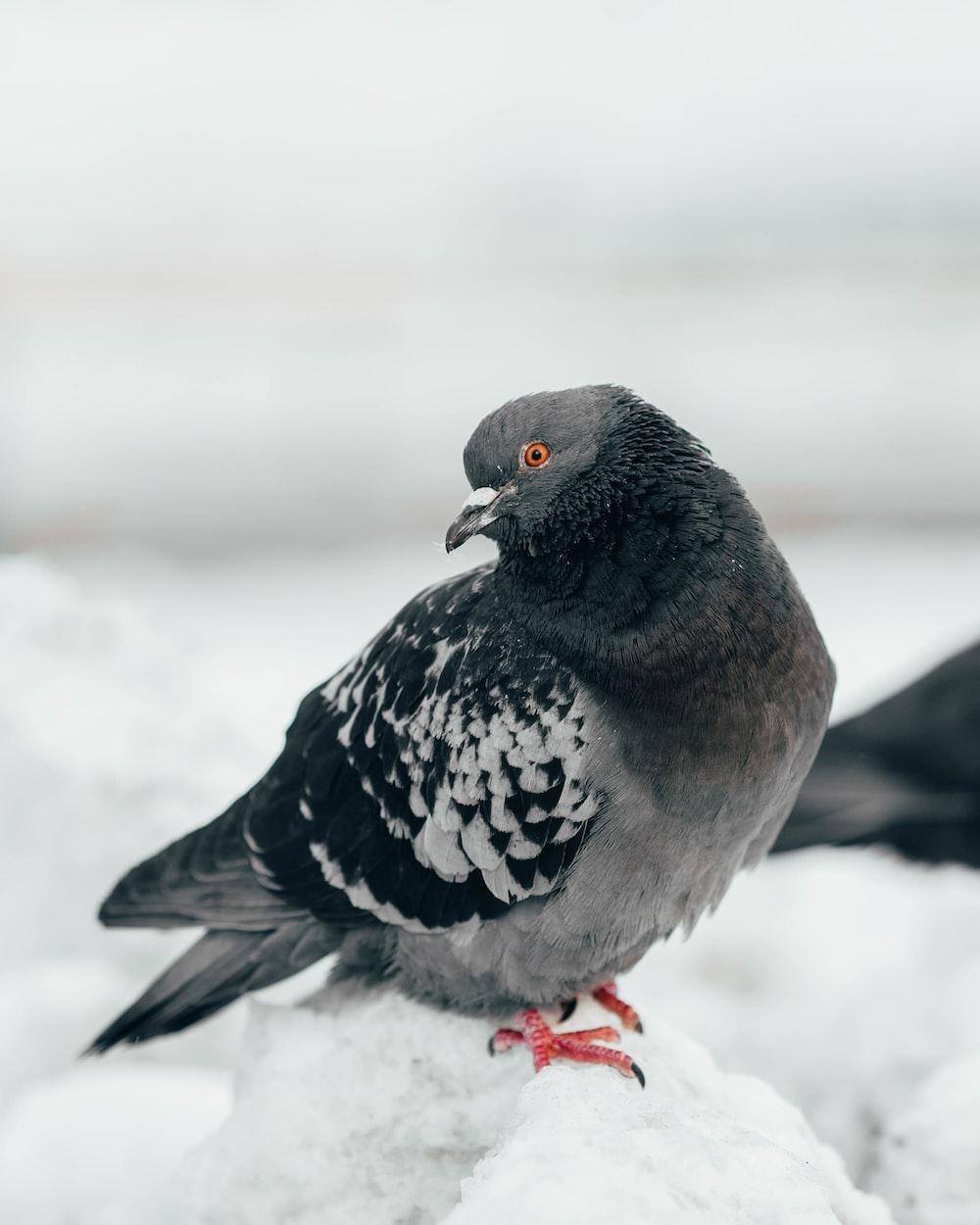 gray and black bird on snow