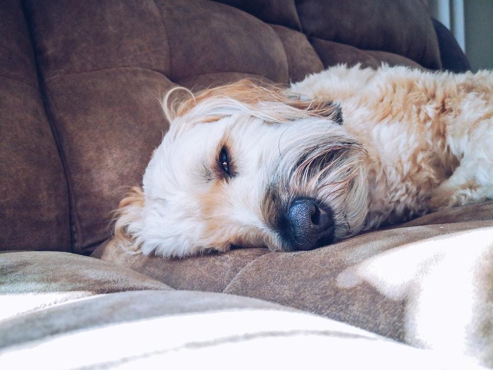 maltese on brown sofa
