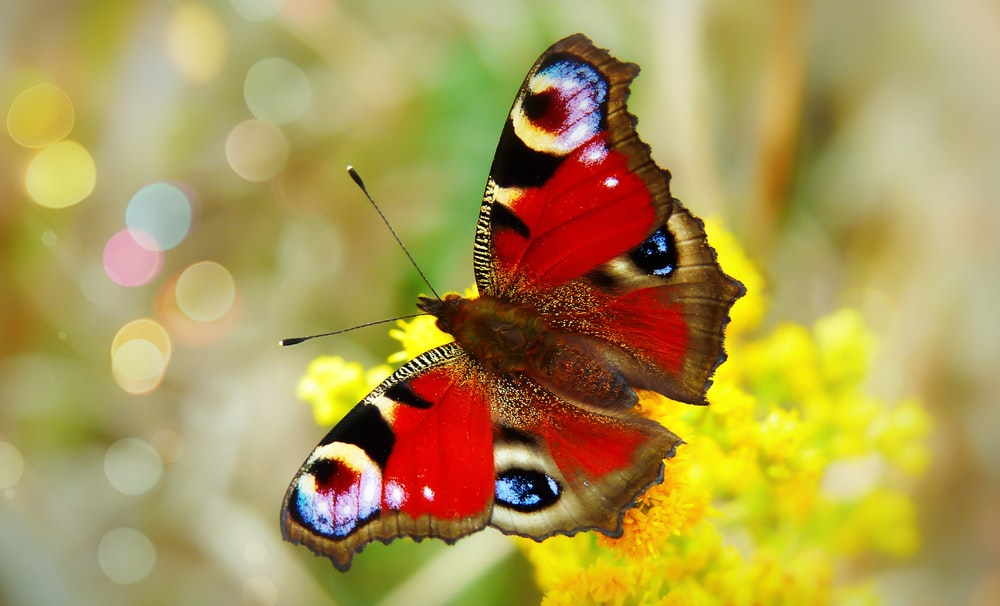 red and multicolored butterfly perch on yellow petaled flower