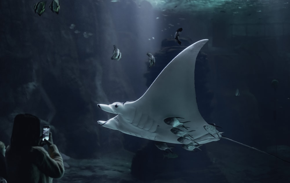 white manta underwater photo