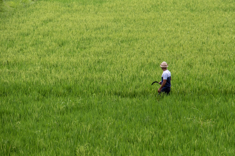 man holding sickle at the ricefield