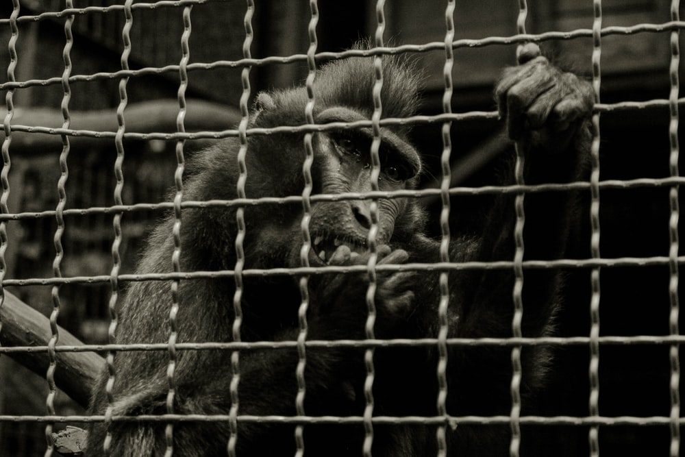 primate holding on cage