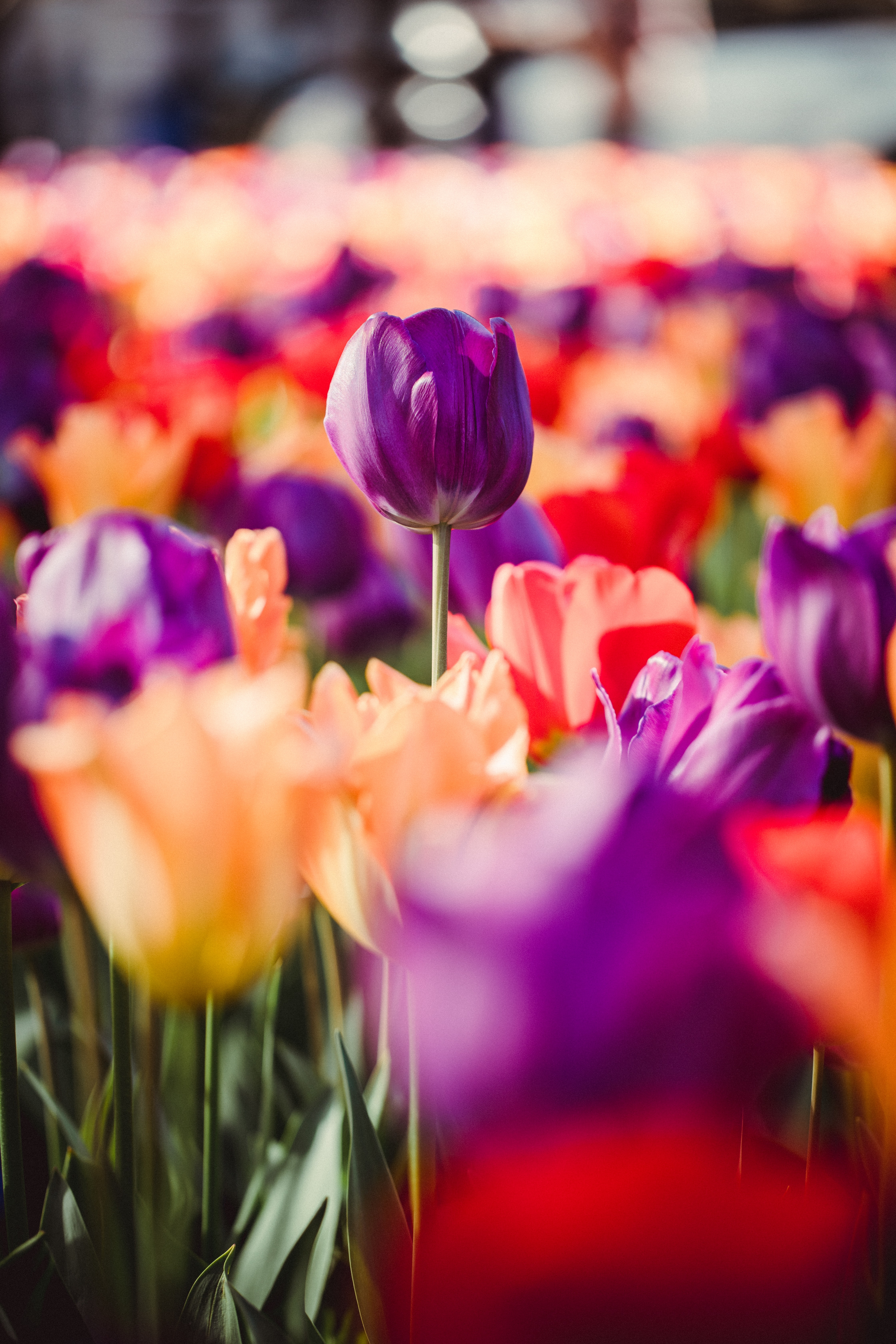 bed of purple and pink tulips