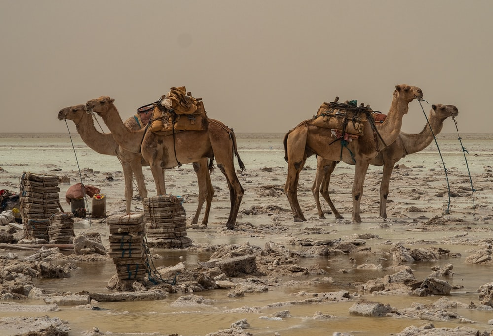 four brown camels standing