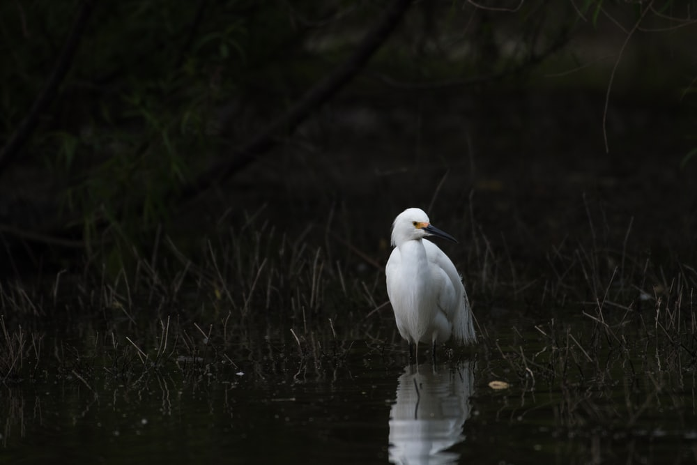 white bird on pond