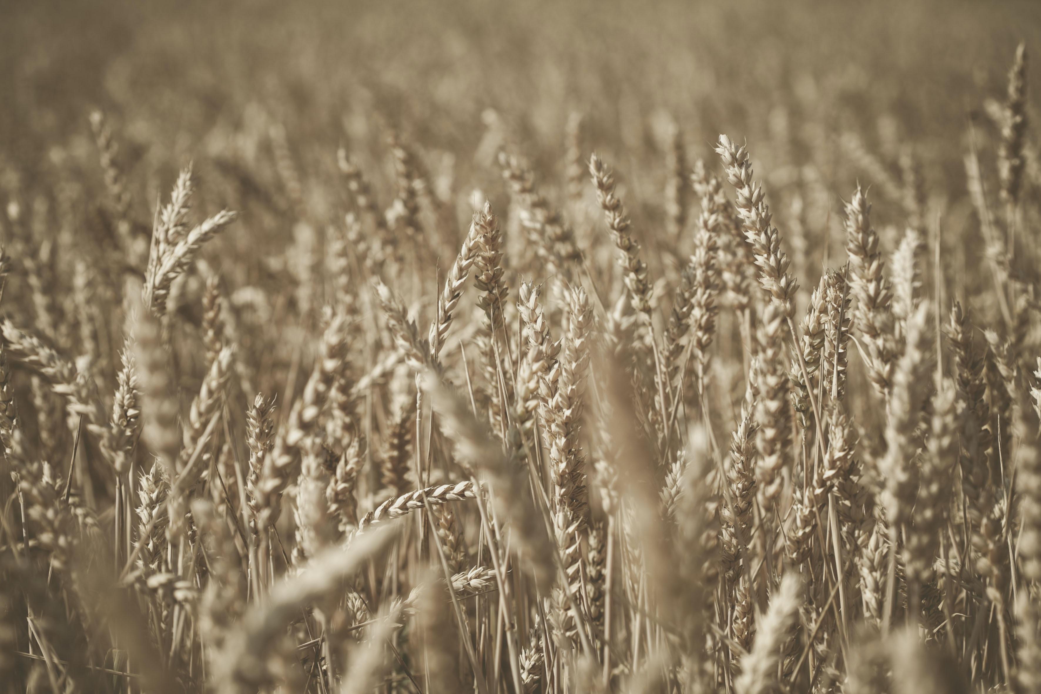 grass wheat