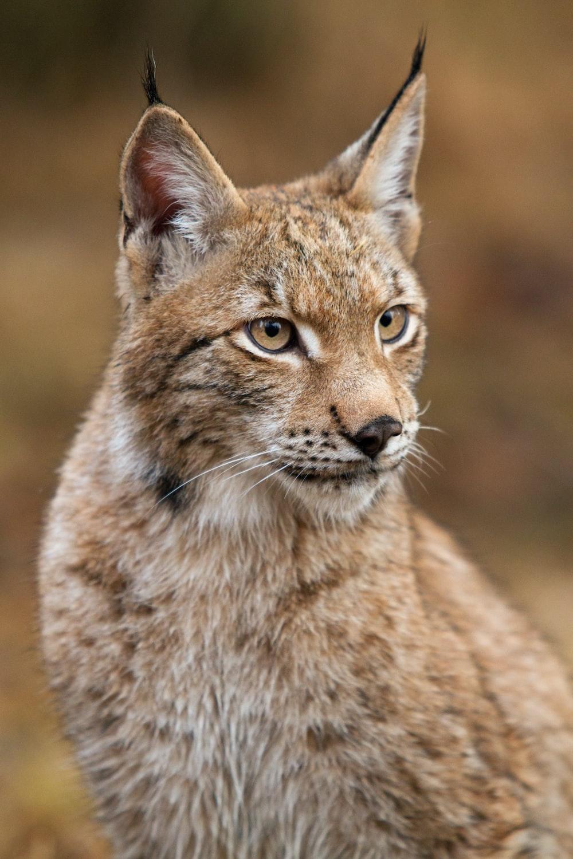 brown lynx cat