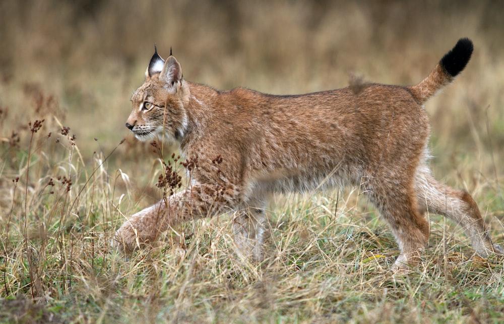 lynx walking on grass field