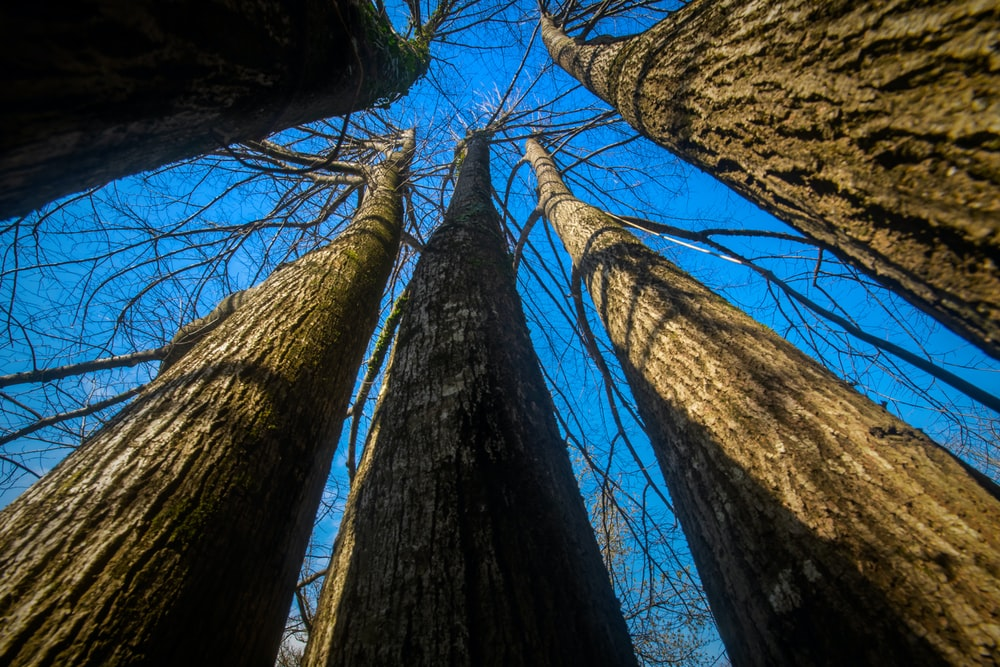 low angle photo of leafless trees
