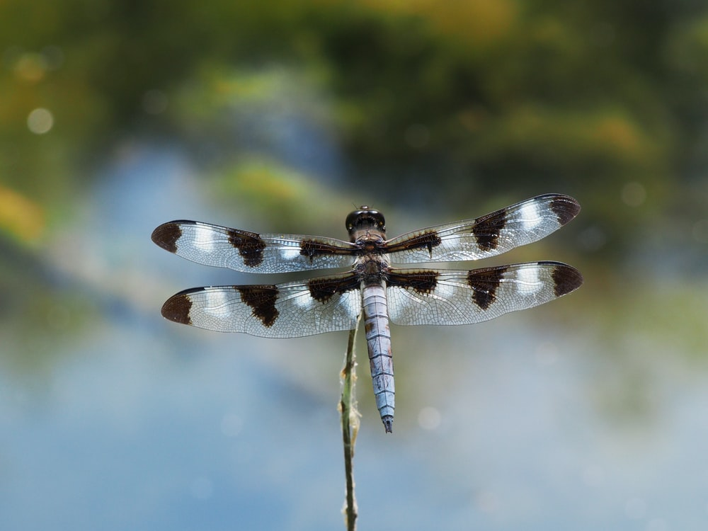 twelve-spotted skimmer close-up photography