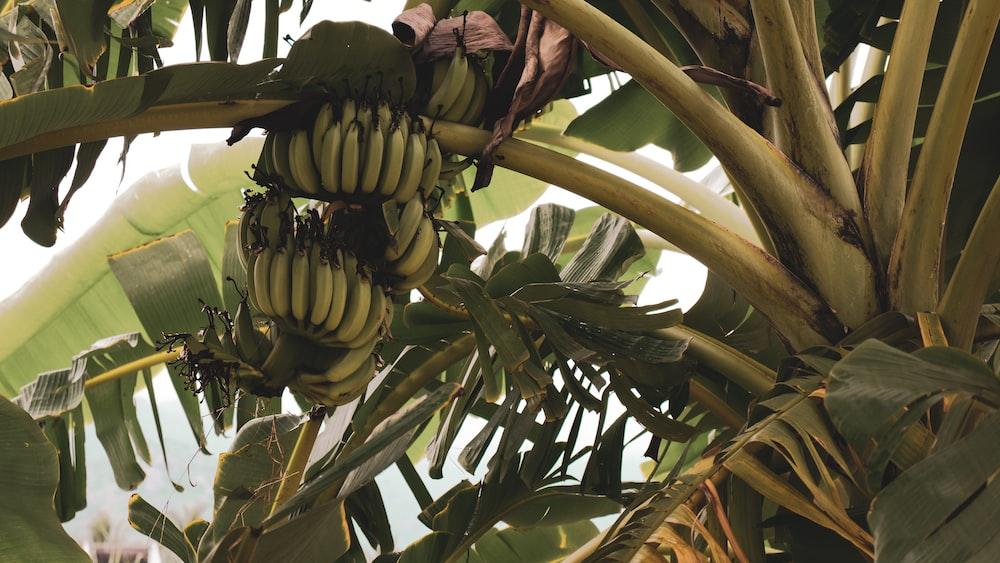 banana tree close-up photography