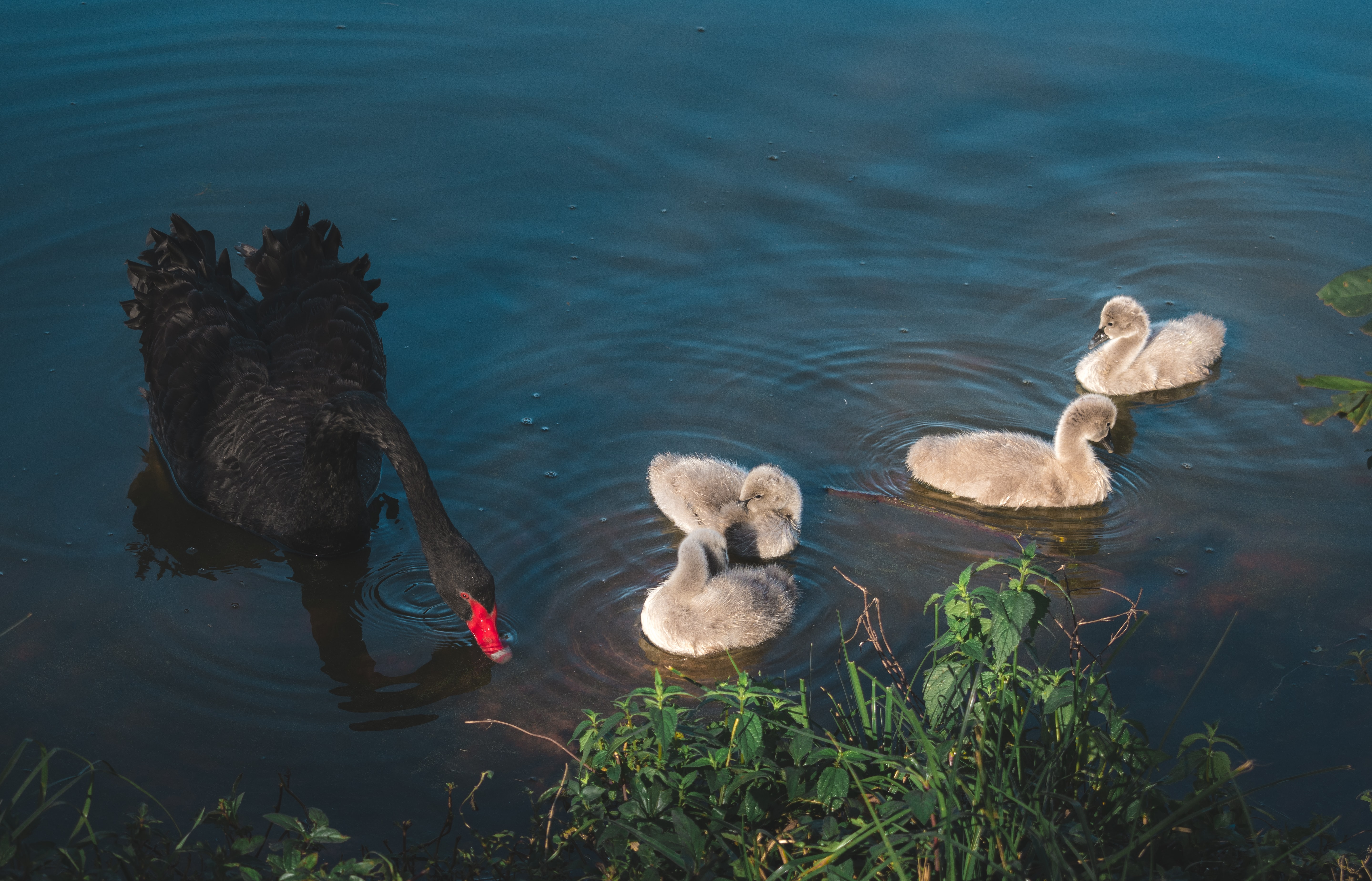 black duck and four gray ducklings on calm body of water