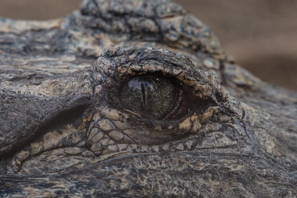macrophotography of crocodile's eye