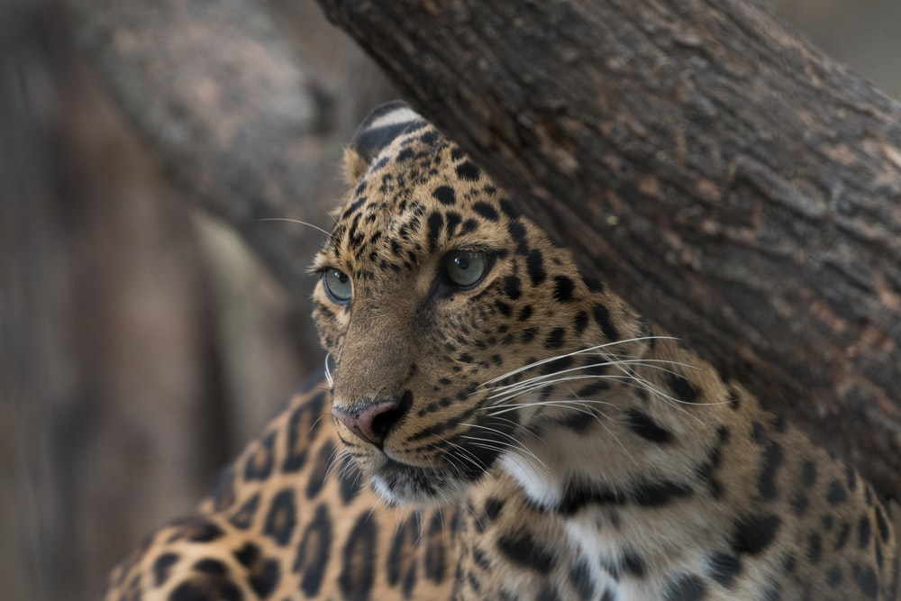 selective focus photography of brown and black leopard