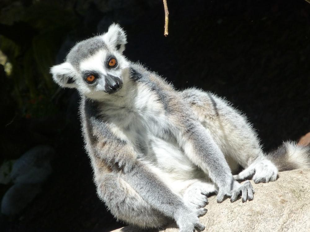 sitting gray and white lemur