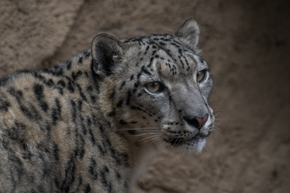 selective focus photography of leopard during daytime