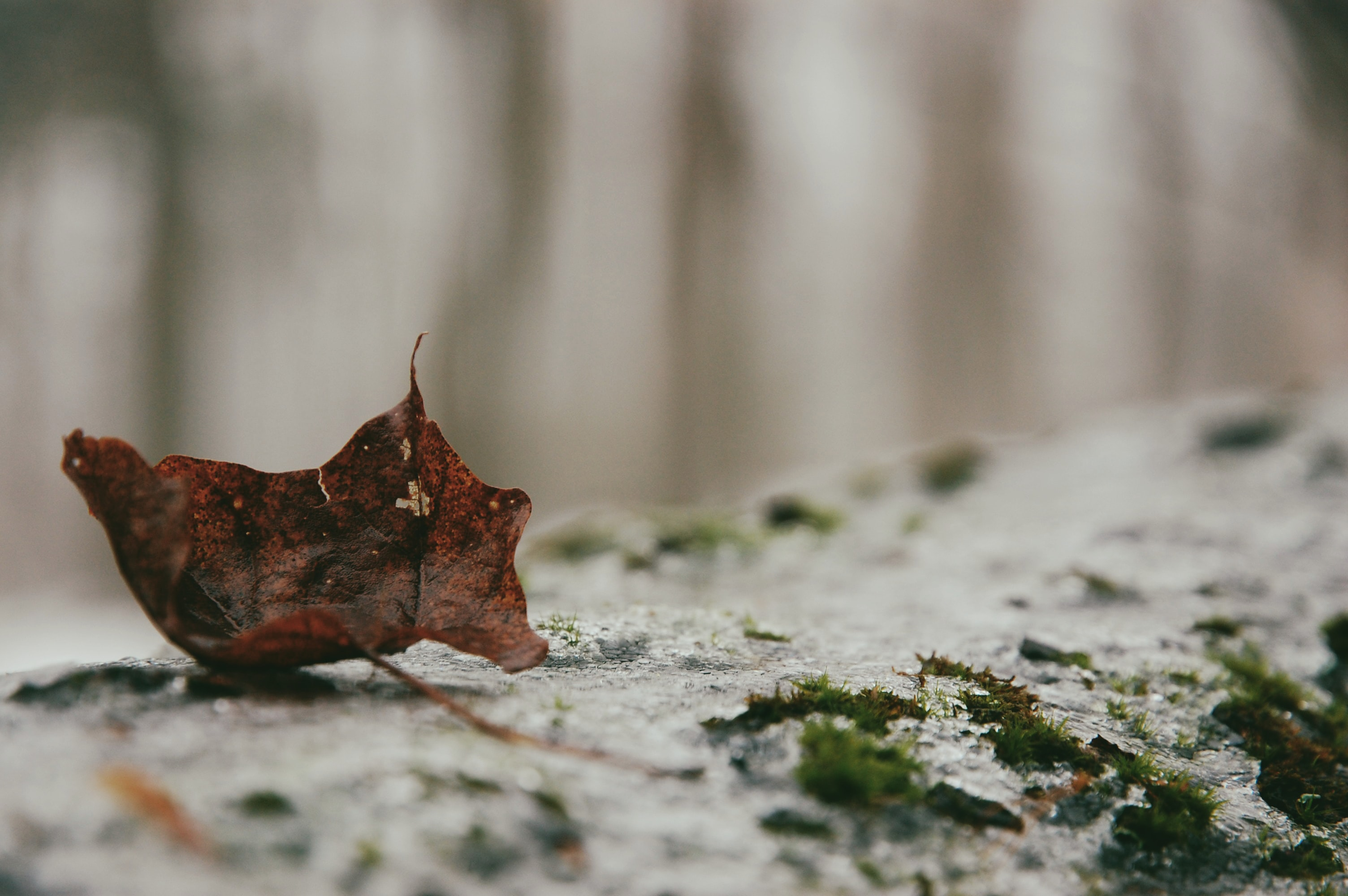 selective focus photograhpy of withered maple leaf