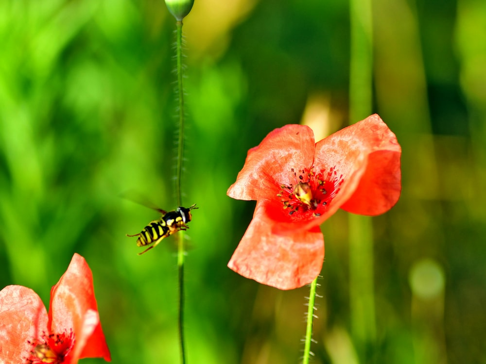 bee approaching red petaled flower