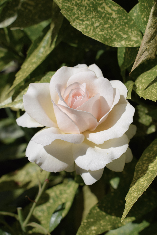 white rose flower