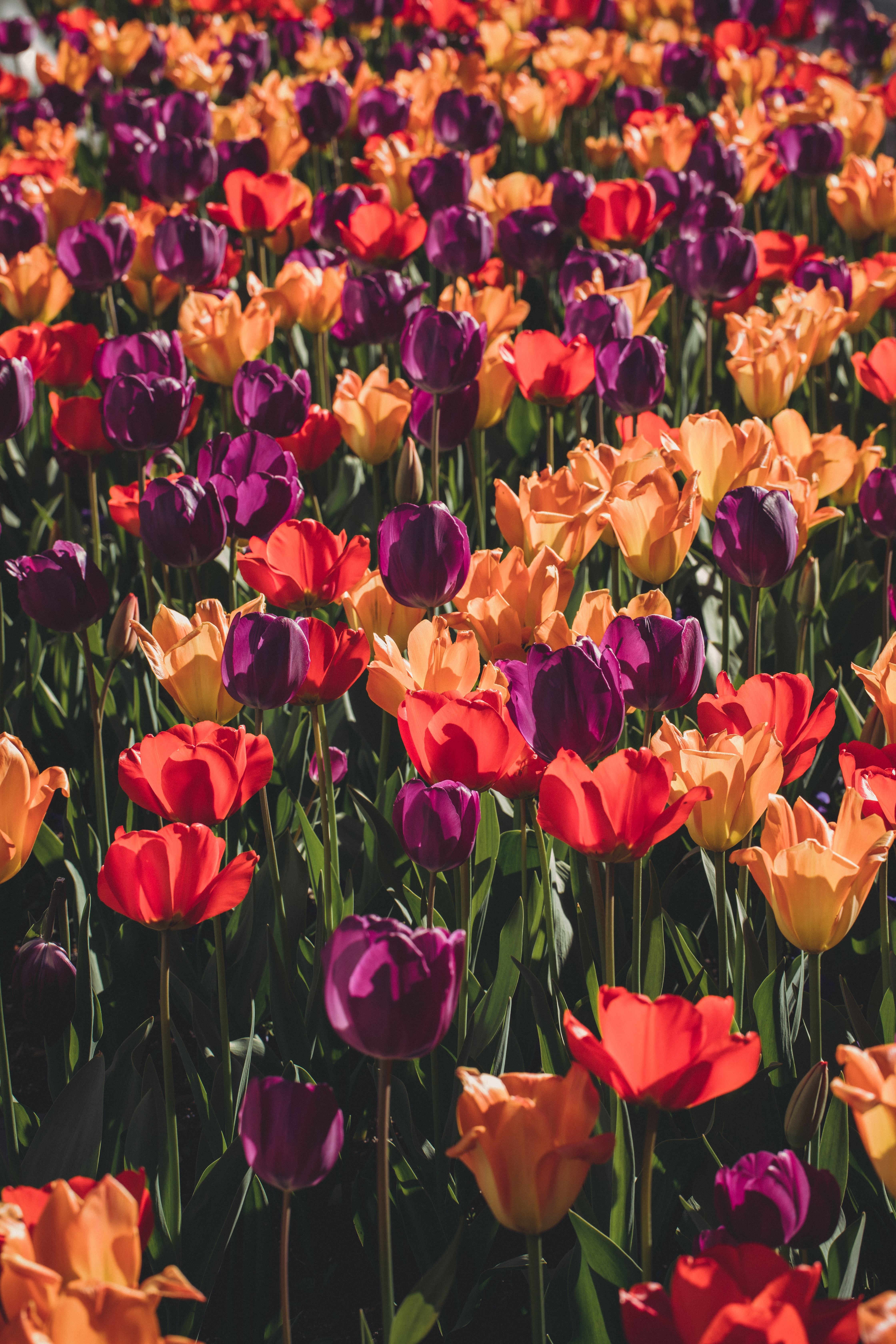 colorful bed of tulips
