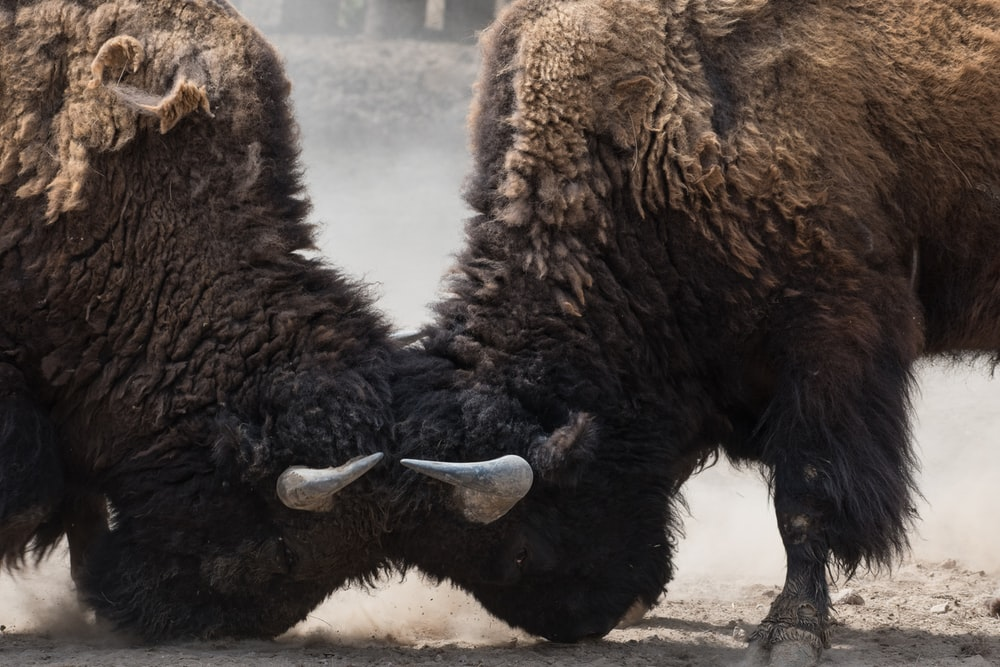 two bisons fighting head