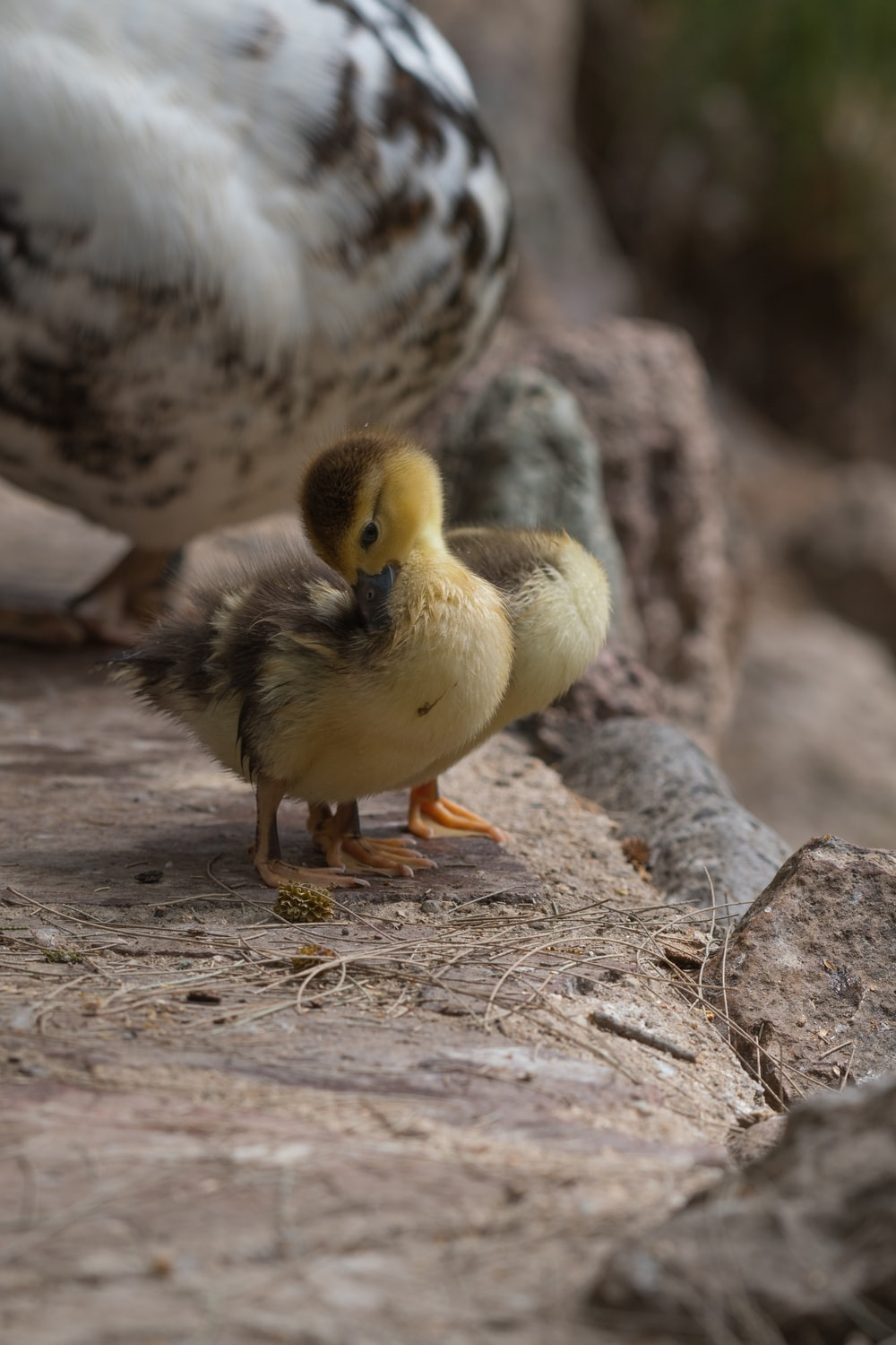 two yellow ducklings
