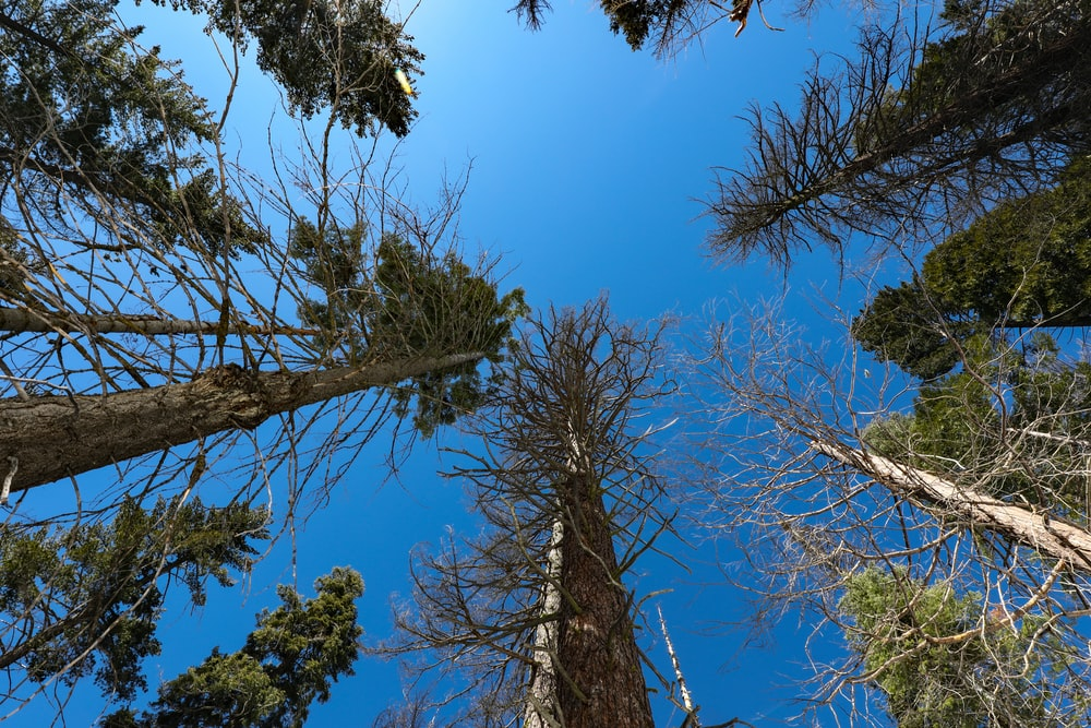 low angle photo of tall trees
