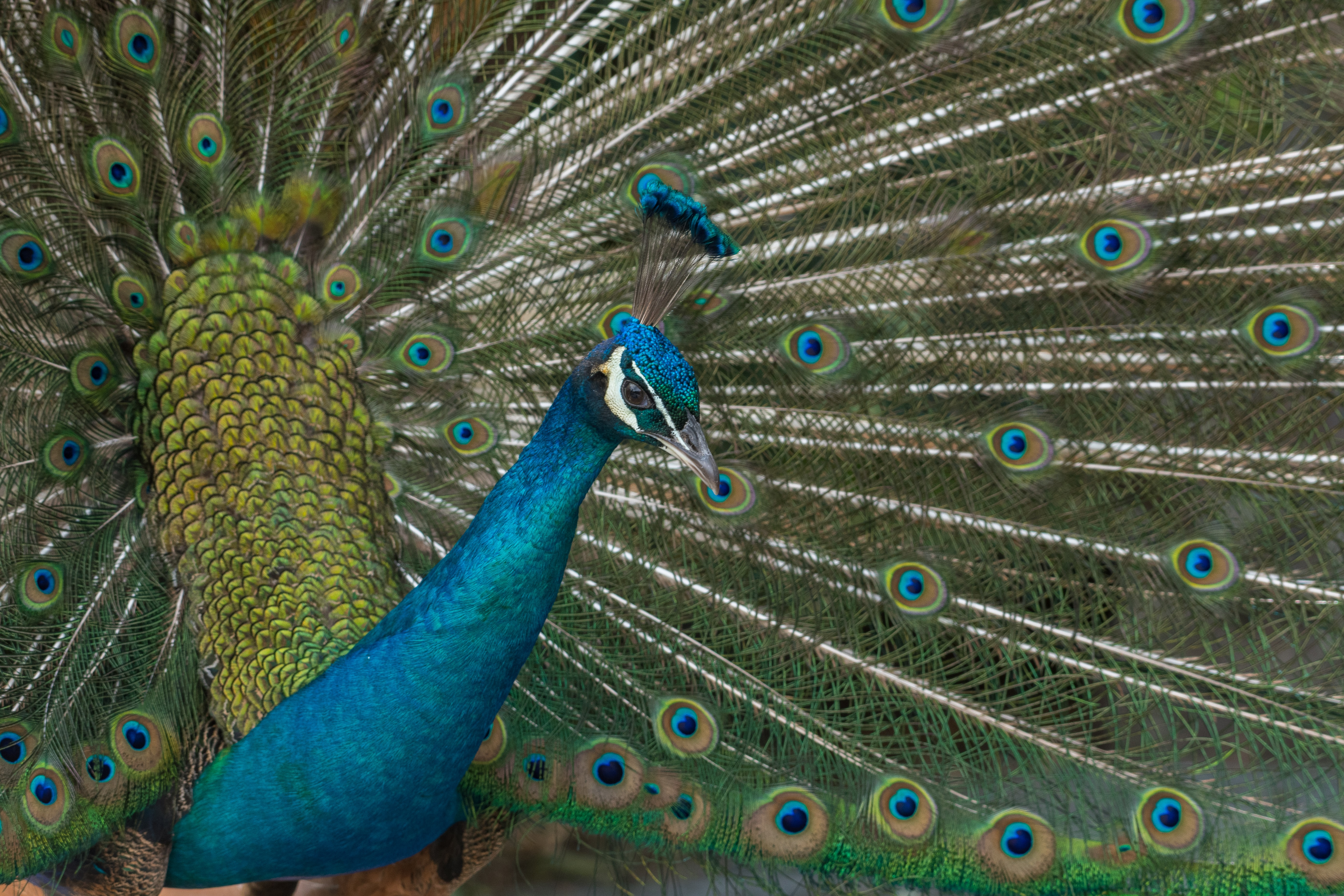 blue and brown peacock painting