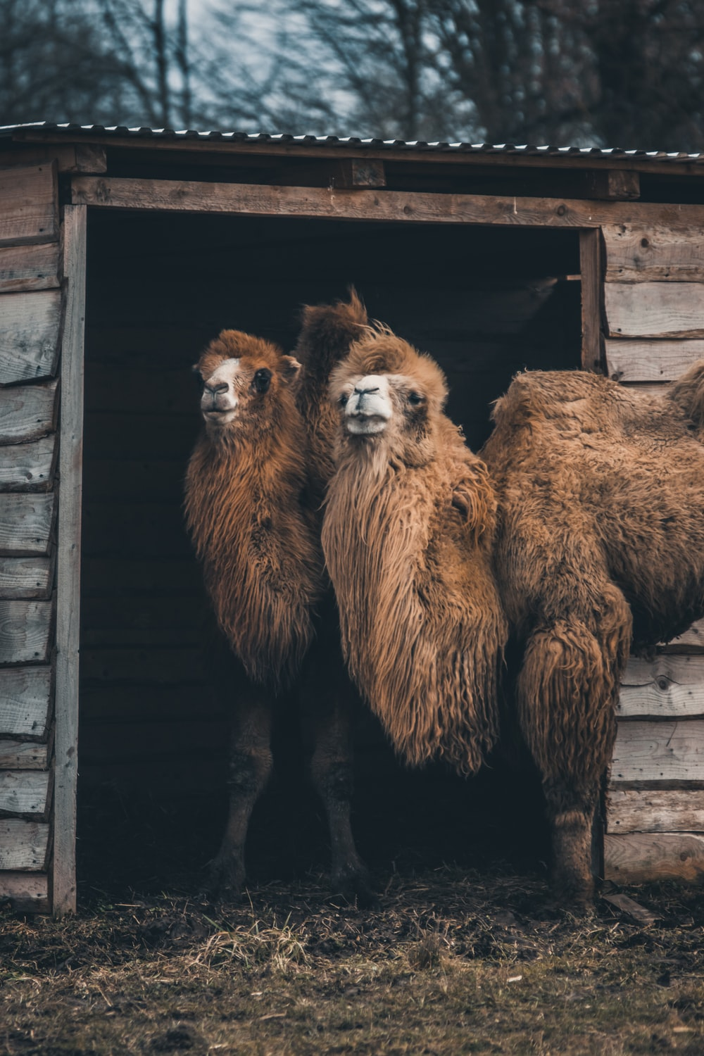 two Bactrian camel near shed