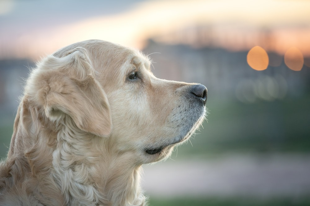 selective focus photo of adult gold Golden Retriever