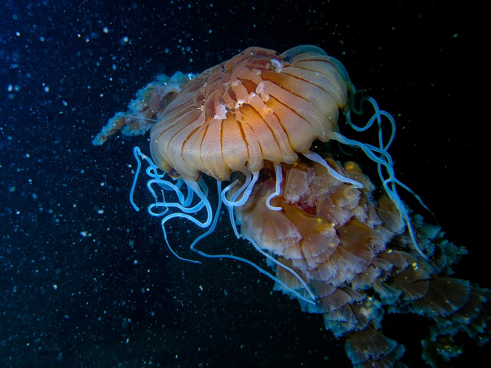 swimming brown jellyfish