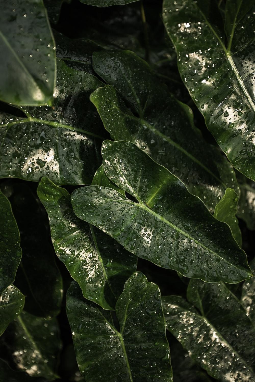 green cordate leaf plant