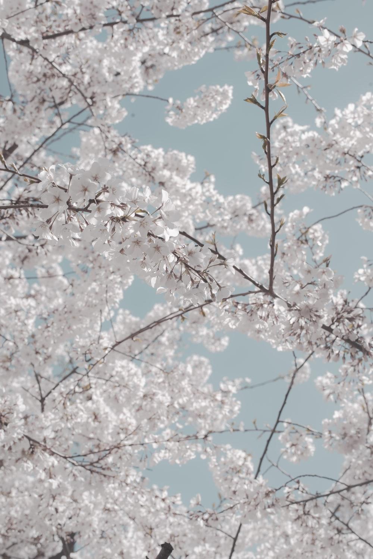 white cherry blossom during daytime