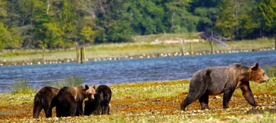 brown bear near body of water bears teams background