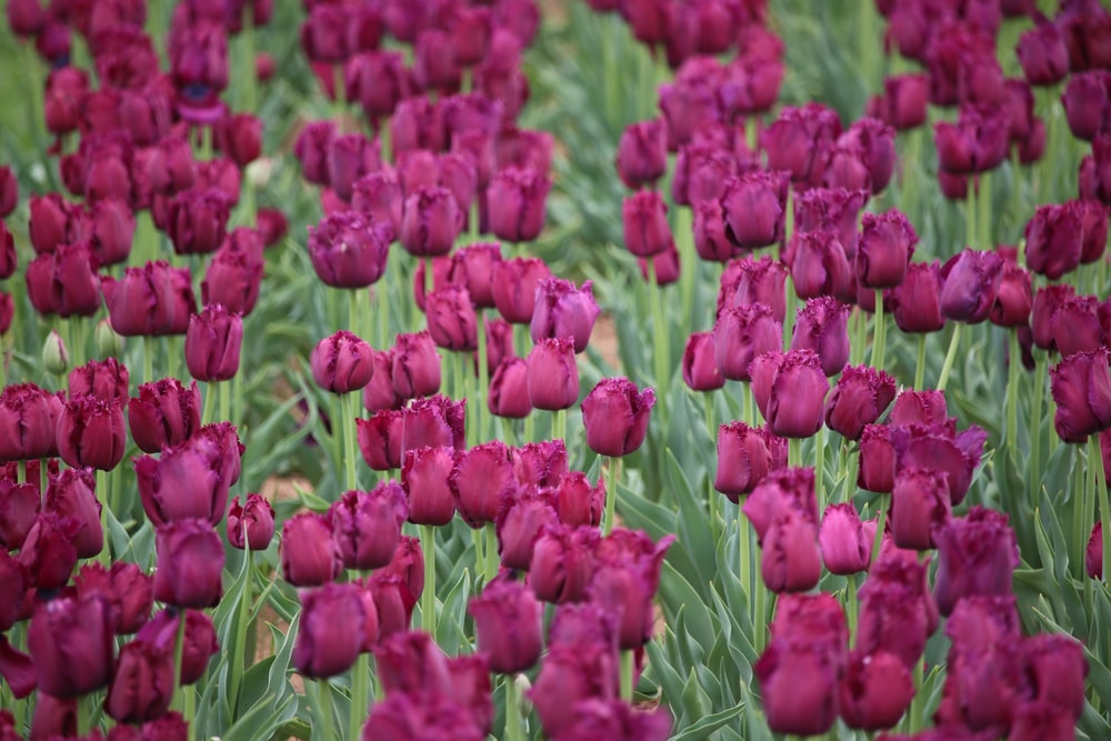 red tulips flower field during daytime