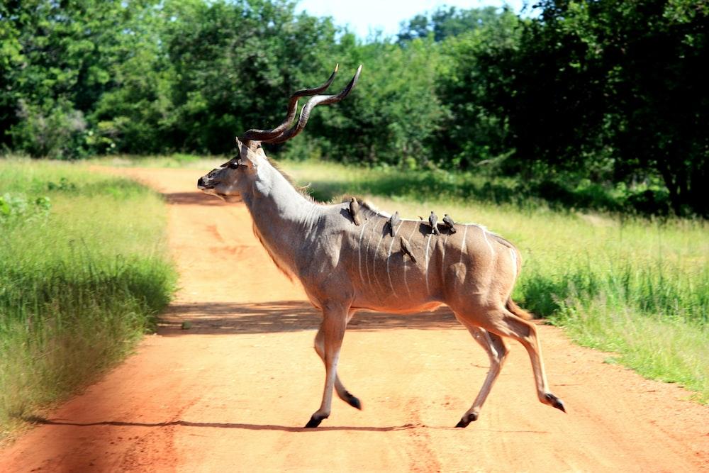 brown deer crossing on pathway \