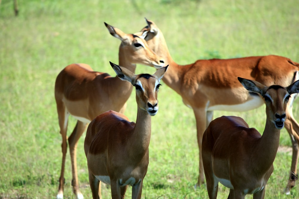 antelopes on grass field during daytime