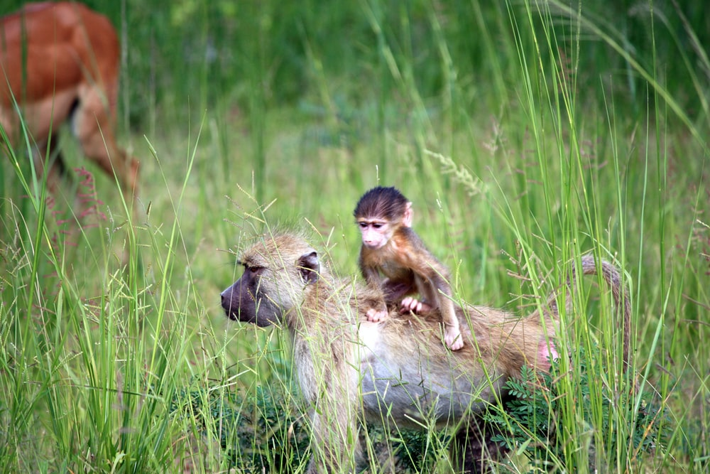 two brown monkey on green grass field during daytime