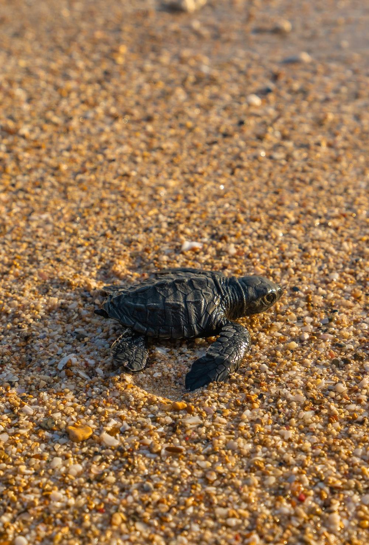 black turtle on seashore