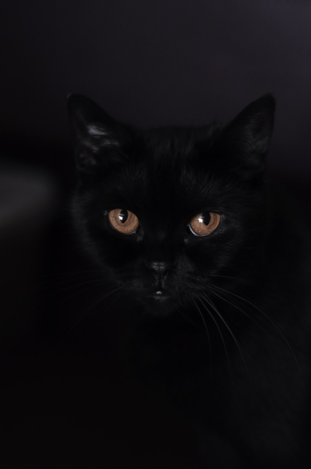 bombay cat on selective focus photography