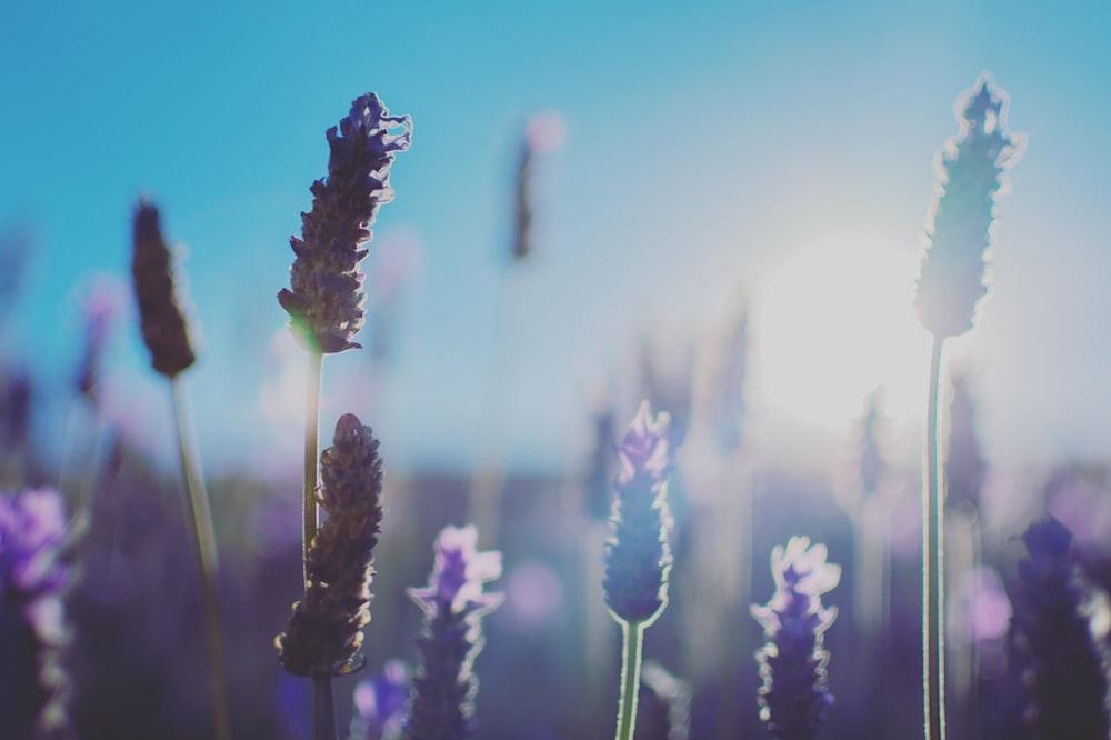 purple lavender flower during daytime